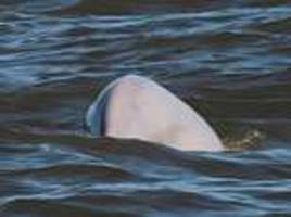beluga whale stuck in the thames could be there for months, expert warns