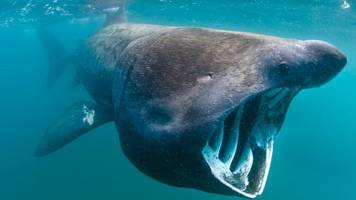 basking shark spotted off flamborough head