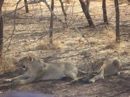 at least 23 endangered asiatic lions die in india, some from rare virus
