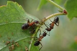 super-rare ants found only on a38 are on brink of extinction