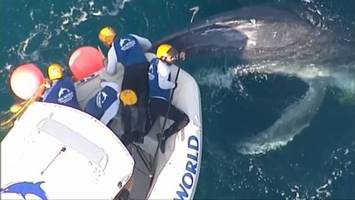 Rescuers spend 2 hours untangling whale calf off Gold Coast as mother looked on
