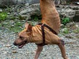 dog born without back legs balances on its front paws and runs to its owner