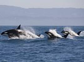 Scientists make plea to save Pacific Northwest killer whales from extinction