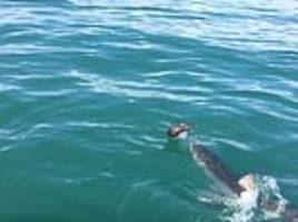 Seal narrowly escapes jaws of death and leaps clear from Great White shark