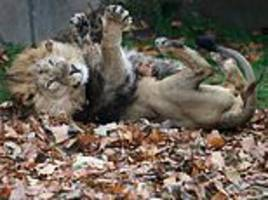 zoo's playful pride roll in huge mound of leaves that have been scented with spices as autumn treat