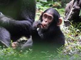 female chimps know which males kill their babies