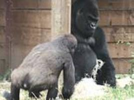 cheeky gorilla winds up his poor father who isn't having any of it