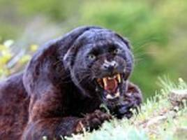 Police warn a black panther is on the loose in rural Scotland