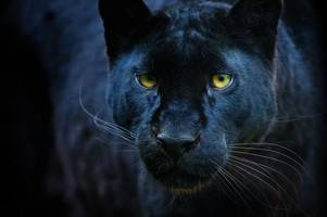 Police's chilling warning after black panther spotted near two villages