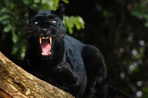 police issue safety warning to public after claims a black panther spotted in ayrshire