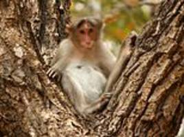 indian man, 72, is killed by a group of 'rogue' monkeys who threw bricks