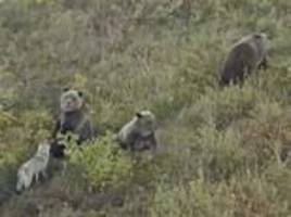 dog is caught on camera frolicking with bears in the wild
