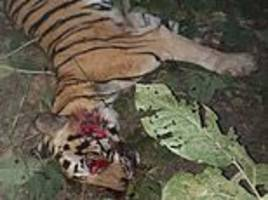 indian villagers crush tigress to death after she...