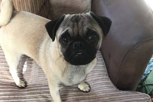 stolen pug reunited with family after police find it in suspect van