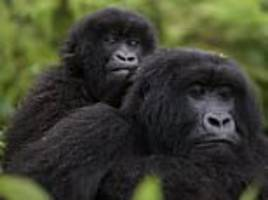 Mountain gorillas are slowly coming back from the brink of extinction