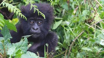 'conservation successes' bring hope for mountain gorilla