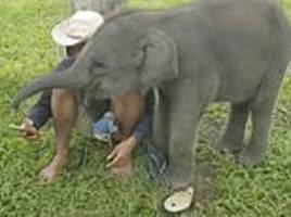 cheeky baby elephant tries to steal her human friend's phone from his hand