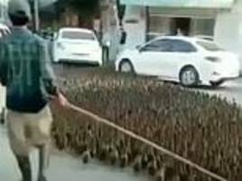 Chinese motorists wait patiently as a farmer escorts his brace of ducks to market