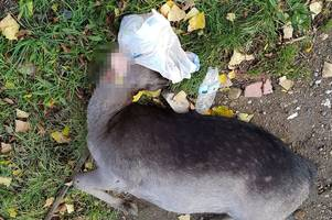 deer hit by car in newark after getting plastic bag stuck over its head