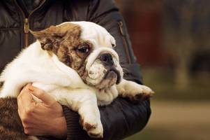 got a porky pooch? here is how to make sure your dog stays trim this christmas