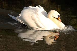 anger after swan is found dead from being shot by riverbank