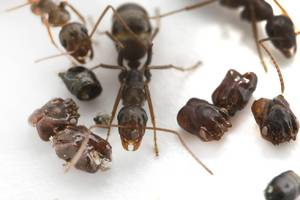 high-speed video solves how florida ants furnish their nests with their enemies' bodies
