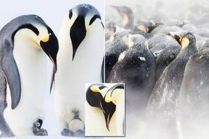 dynasties: from frozen eggs to stealing chicks - is the penguin story the most brutal ever?