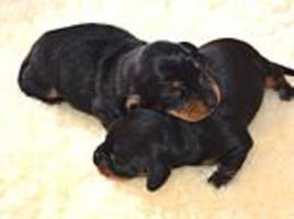first cloned dog in uk minnie winnie gives birth to two dachshund puppies