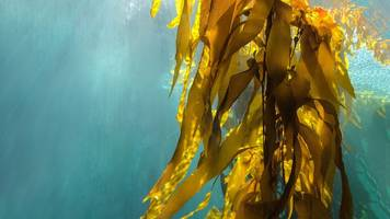 why is there a row over seaweed harvesting in scotland?