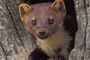 sixty cute 'killing machines' to be released into the forest of dean
