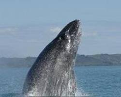 Humpback whales travel to the Mediterranean to feed