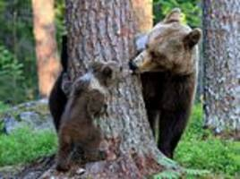 gotcha! mother bear plants a kiss on her adorable cub as they play peek-a-boo in finland