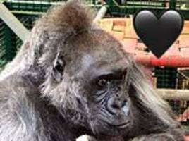britain's oldest gorilla dies aged 57: conservationist mourns loss of 'kind old lady' named babydoll