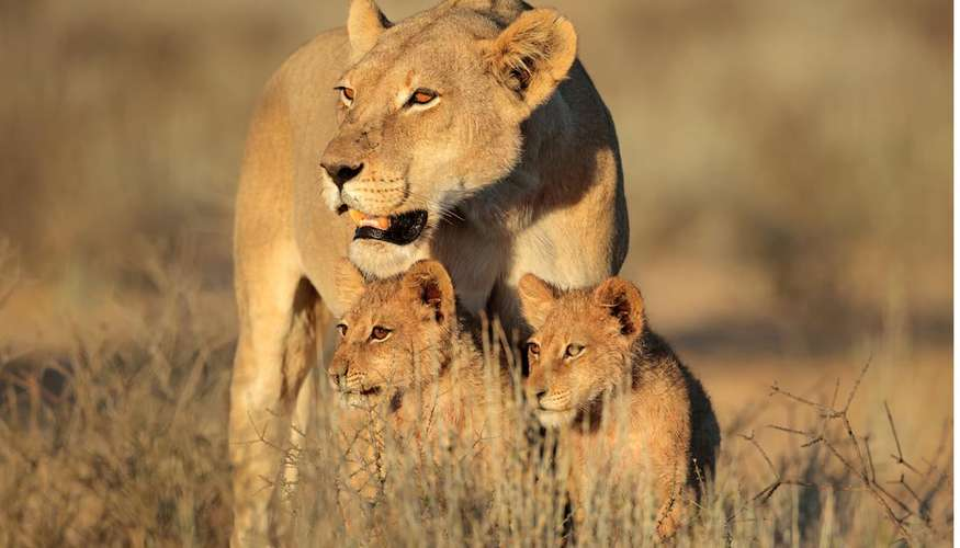 there are less than 20,000 lions in the wild – more money being sought for conservation