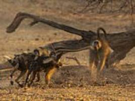 baboons are torn to pieces and eaten by pack of wild dogs for the first time