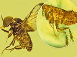 blood-sucking insects preserved in amber for millions of years were infected with malaria