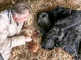 poignant final picture of britain's oldest gorilla babydoll