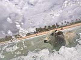 harrowing moment a 94 stone bull drowns in the sea after escaping from a cattle fair