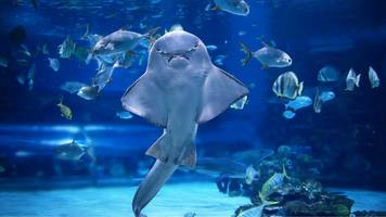 world's strangest sharks and rays 'on brink of extinction'