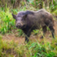 Explosion of hungry feral pigs on Hawaii's main island#source%3Dgooglier%2Ecom#https%3A%2F%2Fgooglier%2Ecom%2Fpage%2F%2F10000