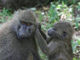 pig hearts transplanted into baboons – could humans be next?