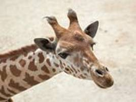 giraffe subspecies are listed as 'critically endangered' for first time
