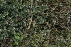 Police warning after holly and ivy stolen from people's properties