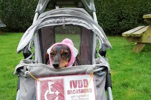 Why hundreds of sausage dogs will go for a walk in Truro