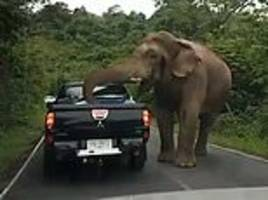 Hungry elephant forces traffic to stop before rummaging for food