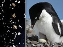 Satellite images of penguin POO reveal how Antarctica's Adélie populations have changed their habits