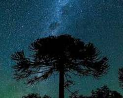 chile's pine forests: a botanical dinosaur bound for extinction