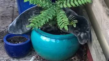 baby seal found 'lounging' in plant pot