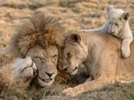 pride of lions cuddle up in adorable photo in south africa