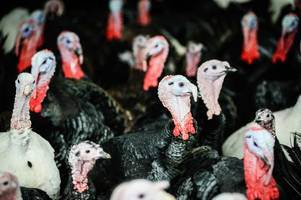 where does our christmas turkey come from? here's it's journey from farm to plate